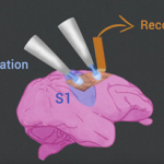 optogenetic stimulation